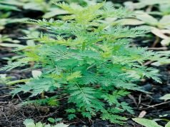 l'Artemisia Annua